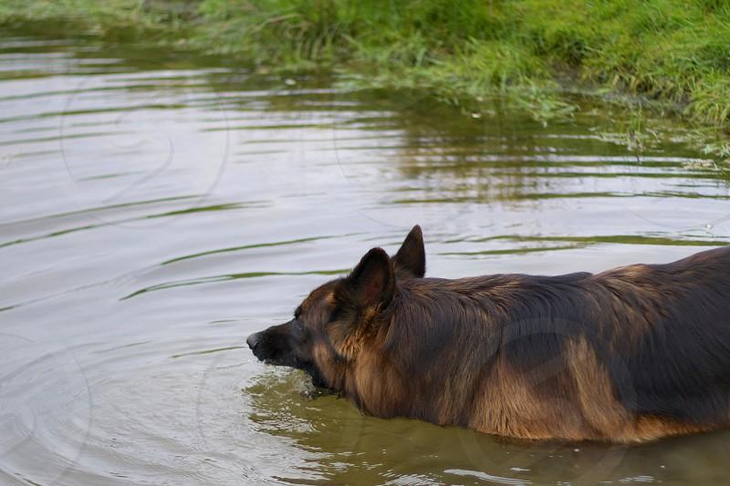 black and tan german shepherd on water photo