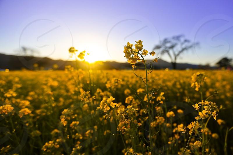 mustard bloom napa sunset sunlight sun yellow vineyard winery flower bed sky purple house spring wildflower blossom napa valley wine country california  photo