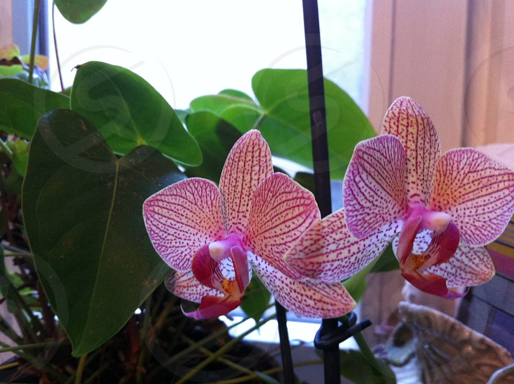 phalaenopsis orchid pink bloom photo