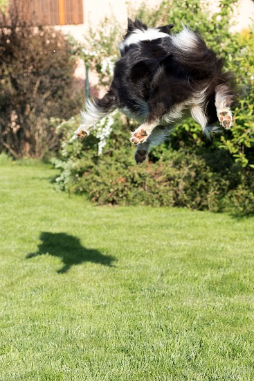 Rear view of the Border collie that  is jumping and catching its shadow photo