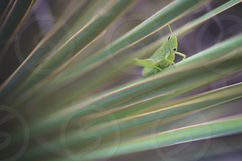 green grasshopper perched on green leaf in tilt shift lens photo