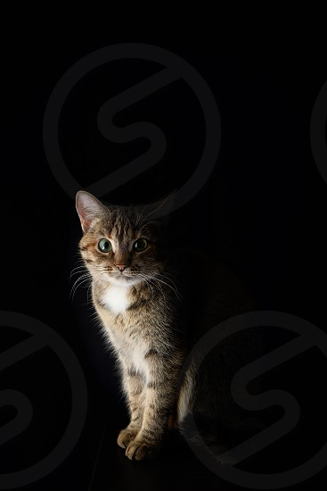 Portrait of a spotted short-haired cat on a dark background photo