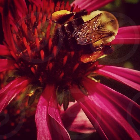 Honey bee looking for honey photo