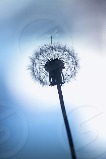 Cold Dandelion photo