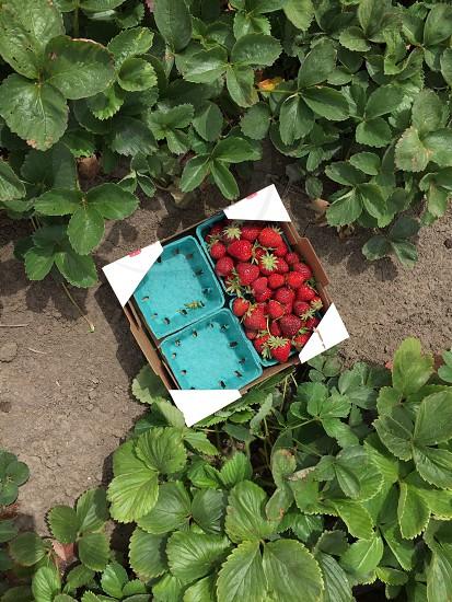 Pick your own strawberries farm  photo