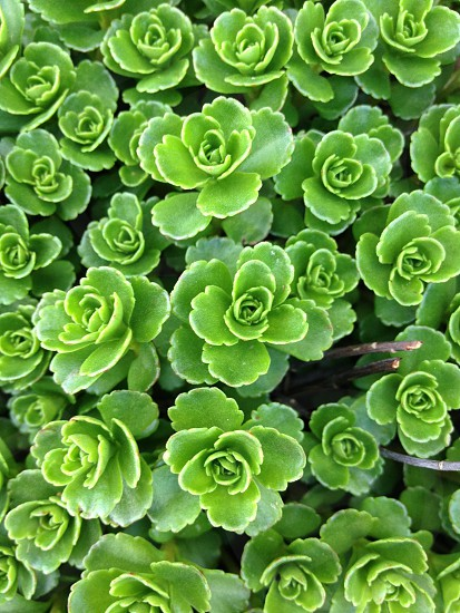 green succulent plants photo
