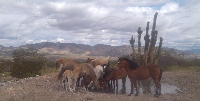 Wild horses  photo