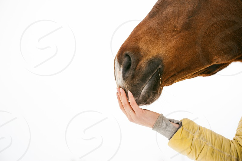 horse muzzle of the face with a woman's hand concerns the nose. animal close-up portrait on a white background. photo