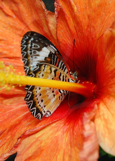 black white and yellow butterfly on orange hibiscus photo