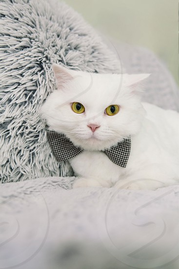 White cat Scottish highland straight  photo