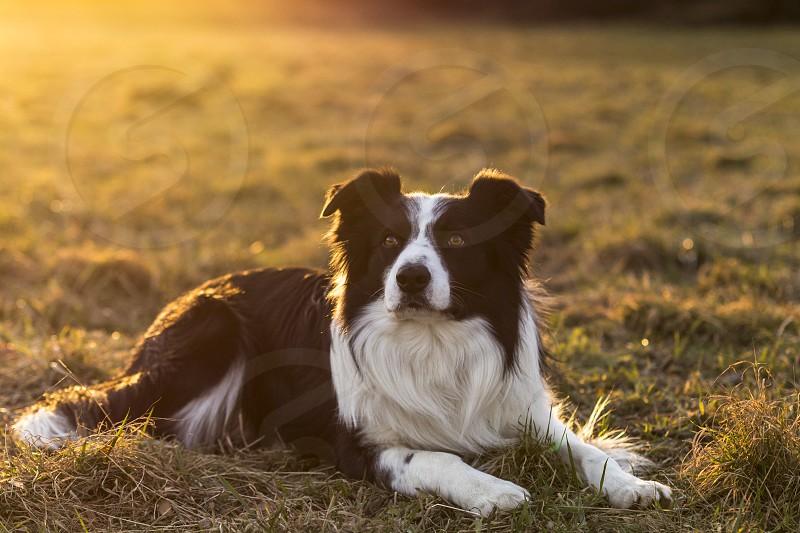 adult border collie dog at sunset  photo