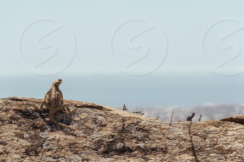 Lizard sunbathing on a rock photo