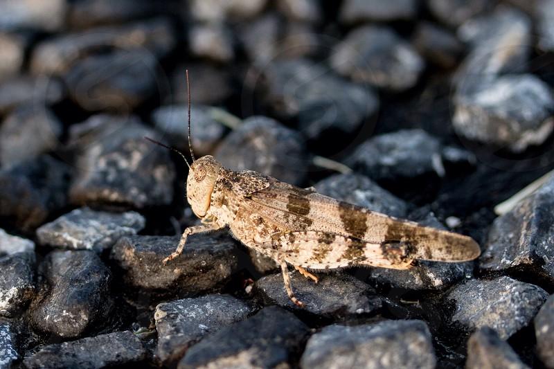 camoflaged cricket on black rocks photo
