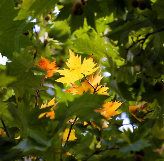 yellow leaf in green tree photo
