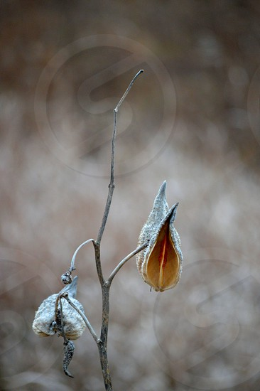 A winter milk weed pod. photo