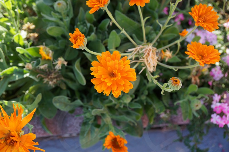 orange daisies in closeup photo photo