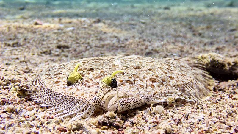 Flatfish in the Red sea Eilat Israel.                     photo