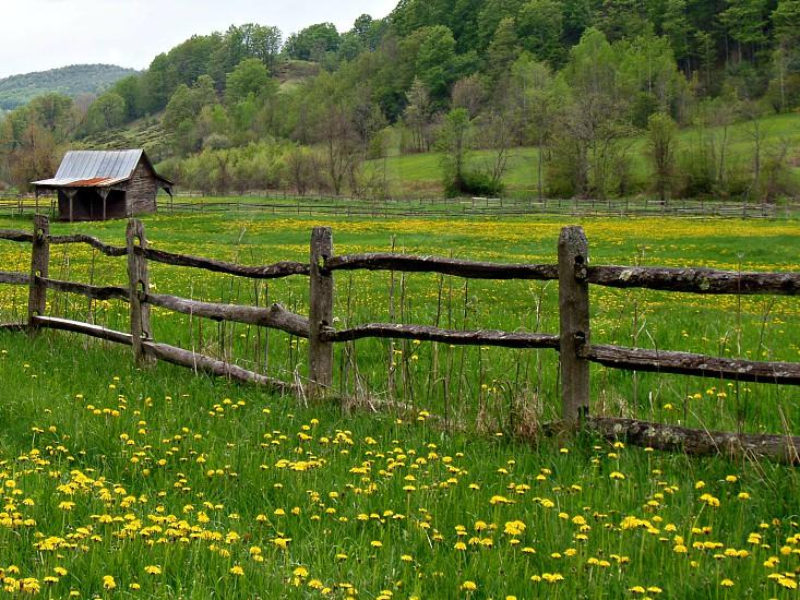 Spring in Vermont - Fields of beautiful Dandelion. photo