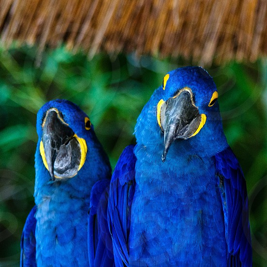 blue and yellow birds photo