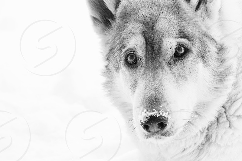 close up photography of white wolf photo