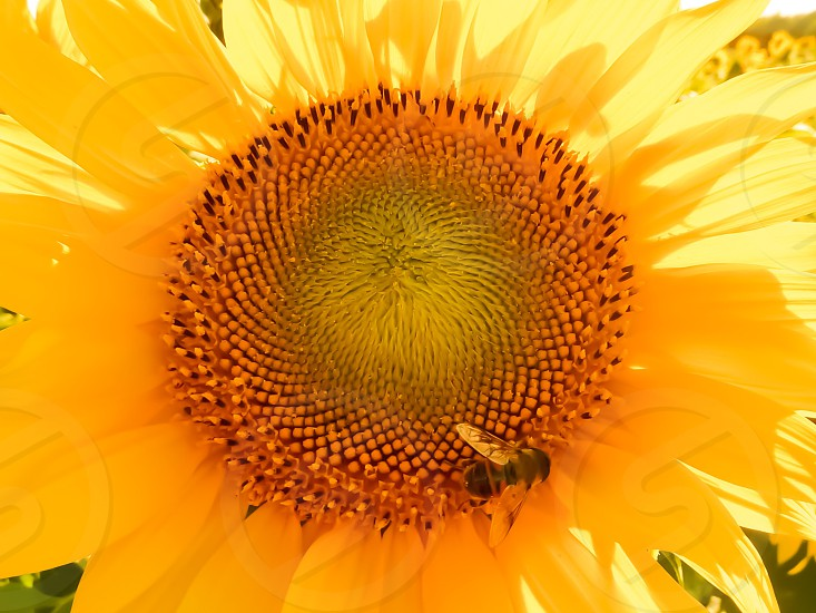 shallow focus of a sunflower photo