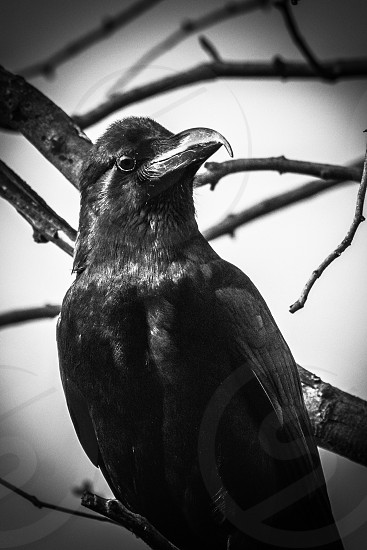 Common raven or northern raven is a large all-black passerine bird. photo