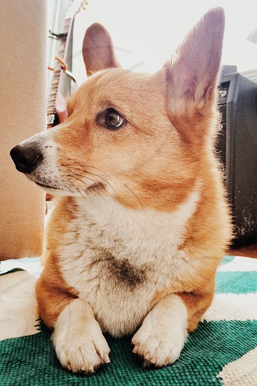 brown and white corgi in front photo