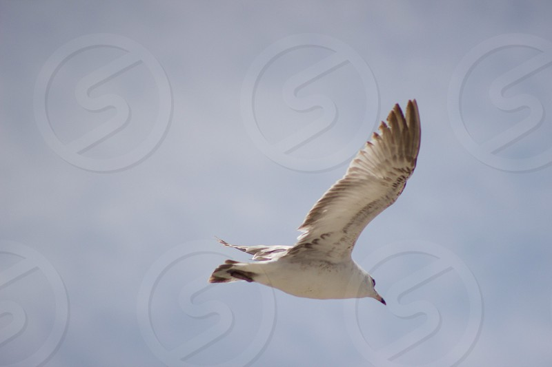 Taken with T3i of a seagull flying over head beautiful bird.. Always wants food though loll photo