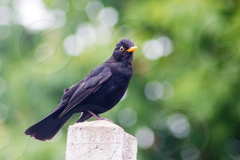 Blackbird bird perch bokeh photo