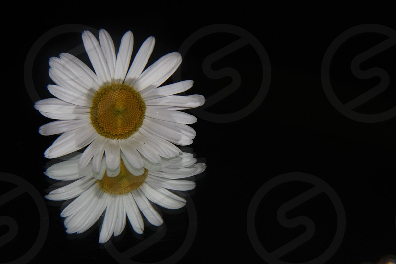 photo of 2 white daisy with yellow pollen in black background photo