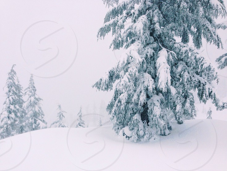 snow topped trees photo
