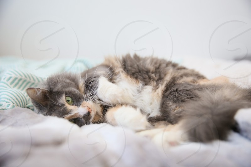 Calico cat in fuzzy sheets being adorable. photo