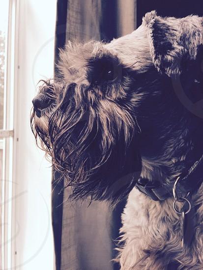 Dog; schnauzer;  photo
