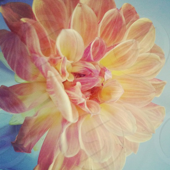 Pink and yellow dahlia flower soft colours photo