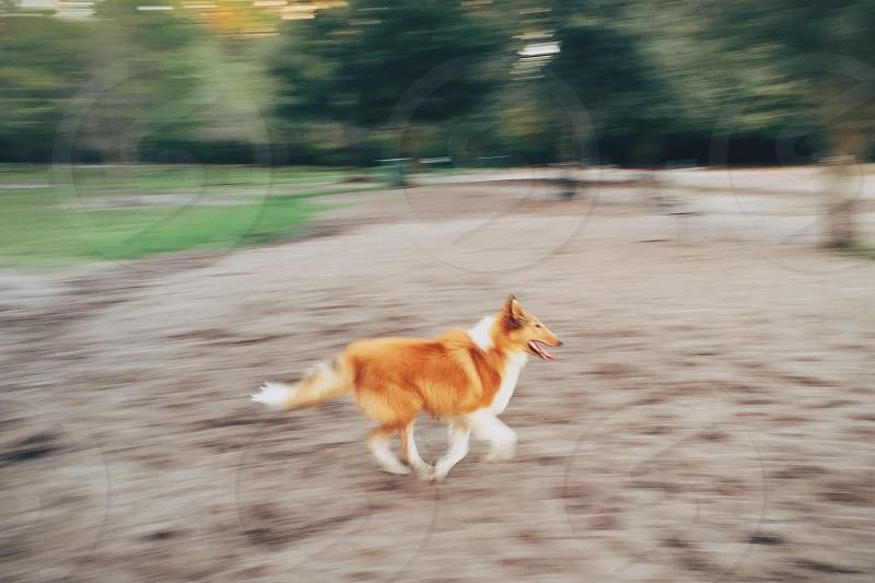 Collie puppy sprinting through a park photo