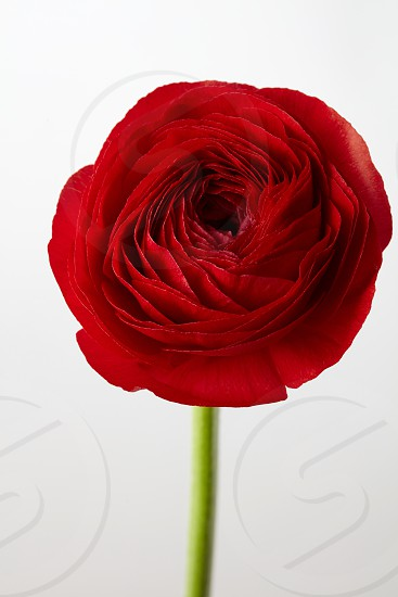 red beautiful ranunculus flower on a gray backgroundwedding greeting card photo