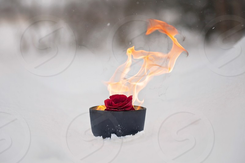 Rose snow fire ice red nature photo