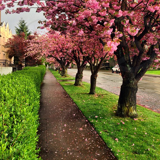cherry blossom trees beside pathway photo