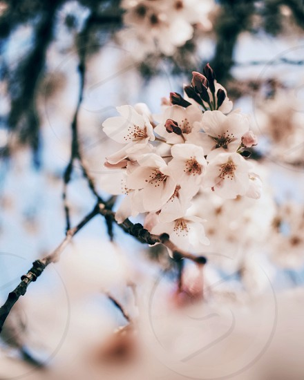Spring cherry blossom flower nature photo