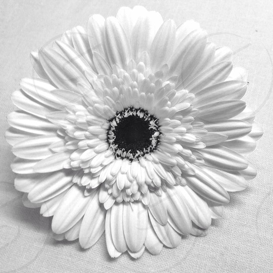 daisy flower in black and white photo effect photo