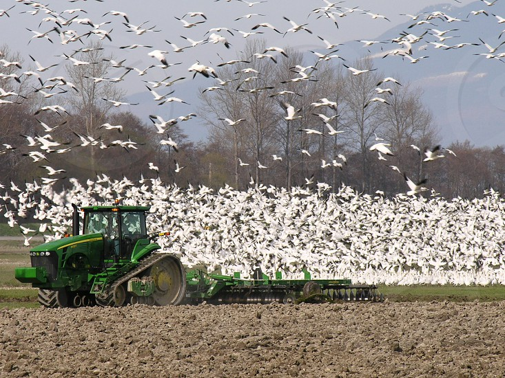 Green tractor flushing snow geese from farmer's field. photo