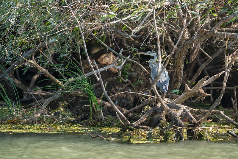 Grey Heron (ardea cinerea) in the Danube Delta Romania photo