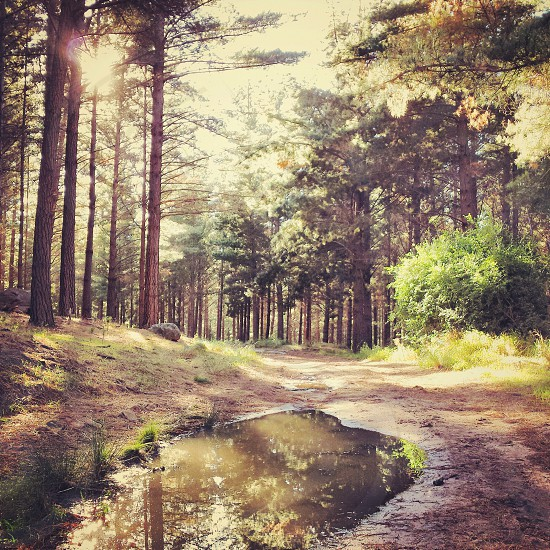Sun streaming through pine trees in a forest with puddles.  photo