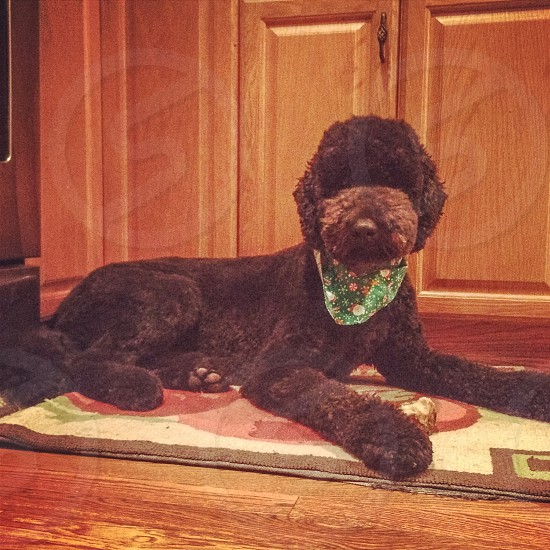 adult black toy poodle reclining on floor mat photo