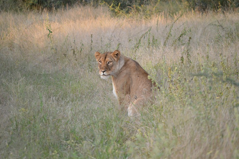 Lioness in the grass in Limpopo  photo