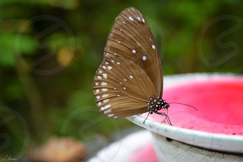 butterfly pink green brown eating plate photo
