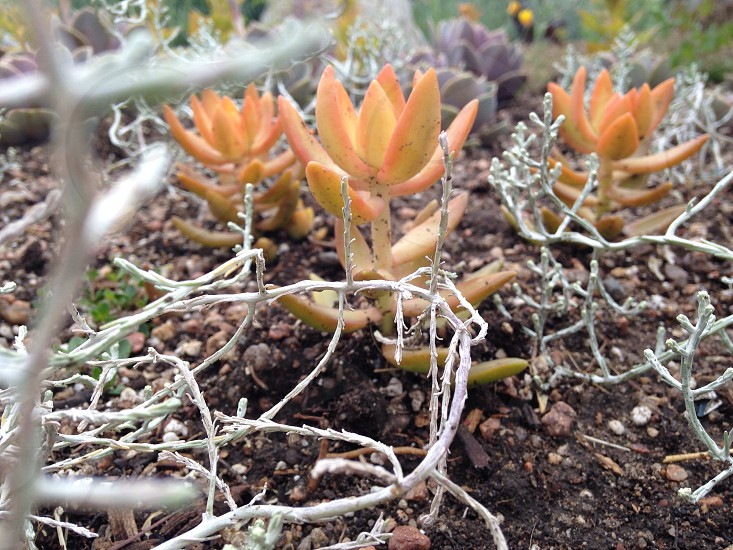 beige succulent plants photo