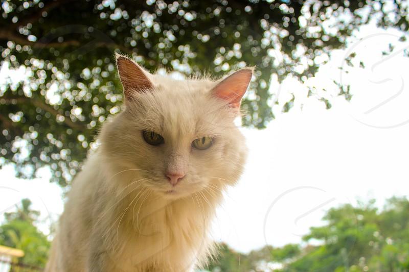 white persian cat photo