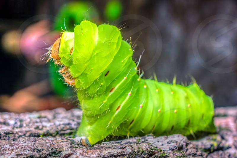 This caterpillar (Antheraea polyphemus) was named after the Cyclops Polyphemus from Greek Mythology due to its one purple eye-spot after its metamorphosis into a moth. This photo was captured at Sesquicentennial State Park in Columbia South Carolina.  Visit http://travelerspics.us to see full gallery and other purchasing options. photo