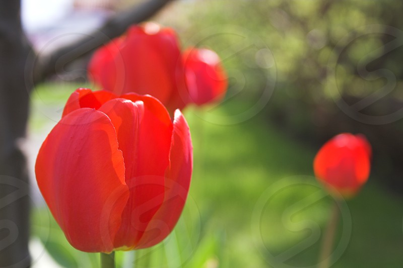 Red tulips with blurred green grass in background. photo